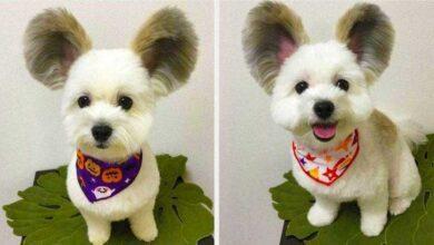 Foto de Cãozinho com orelhas de rato está encantando a internet