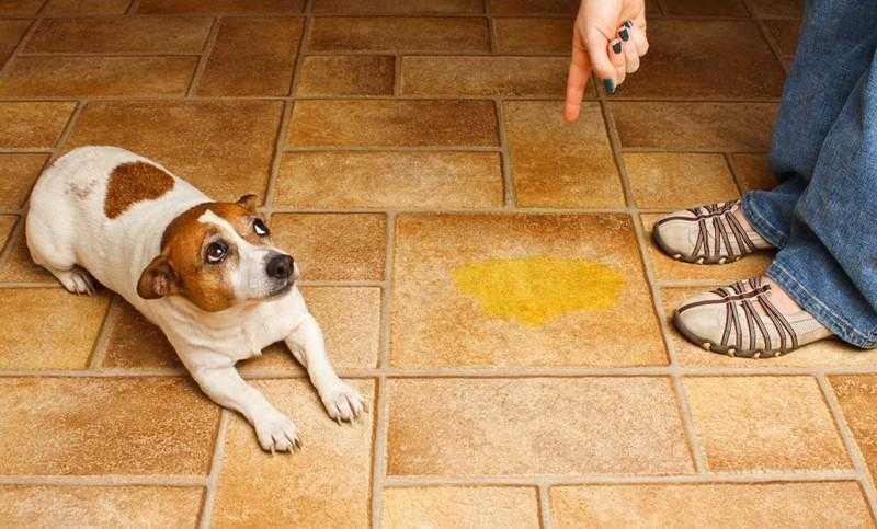 Como evitar que o cão urine pela casa