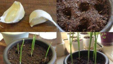 Foto de Como plantar alho em apartamento facilmente