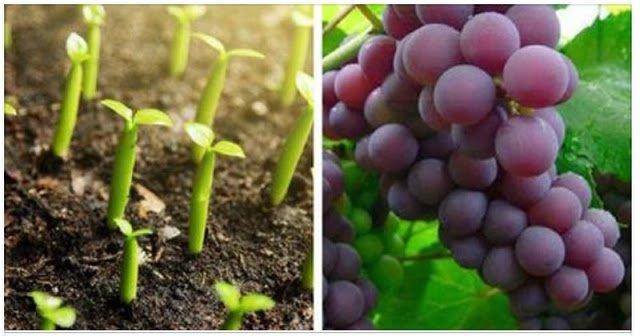 Como cultivar Uvas em casa