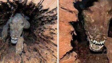 Foto de A verdade por trás do cachorro preso dentro de uma árvore por 50 anos que impactou o mundo