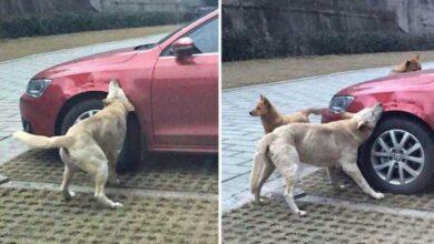 Foto de Após tomar um chute, cachorro de rua chama sua gangue e destrói carro do agressor