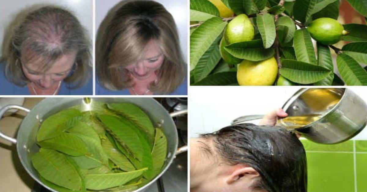 Folhas de goiaba, faz parar de cair o cabelo em até 100% e dá volume