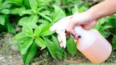 Alho com álcool um insecticida caseiro muito eficaz