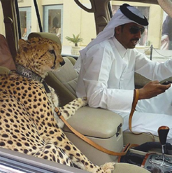 Dirigir com o animal de estimação no carro