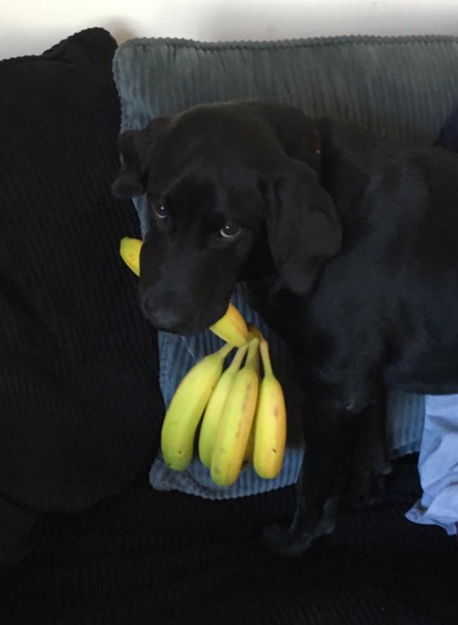 cachorro-que-adora-bananas-9