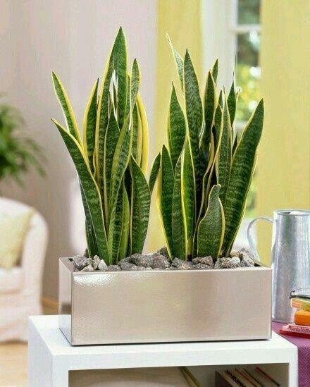 melhores plantas casa espada s jorge
