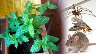 Se você tiver essa planta em sua casa, você nunca verá ratos, aranhas e insetos 01
