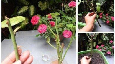 Melhor forma de fazer muda de rosa