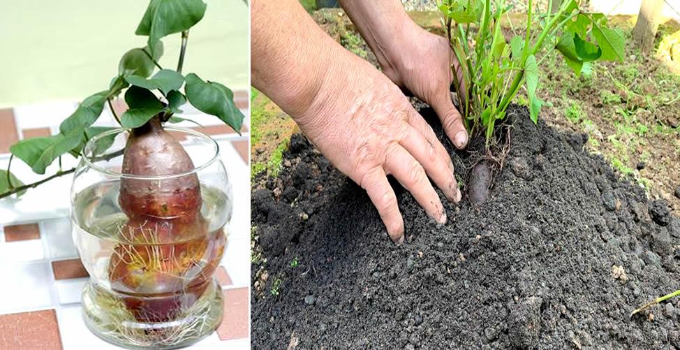 Como Plantar Batata Doce - Geminação