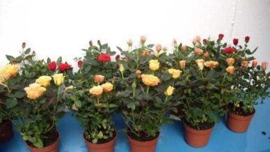 Foto de 3 dicas para cultivar rosas em vasos