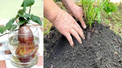 Foto de Como Plantar Batata Doce de Maneira Fácil