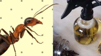 10 soluções caseira para acabar com as formigas da sua casa