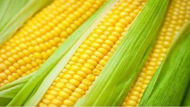 Milho verde é saudável, controla o açúcar no sangue, melhora o intestino, e protege a visão