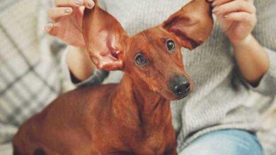 Foto de Como limpar as orelhas do cachorro. Dicas Simples!
