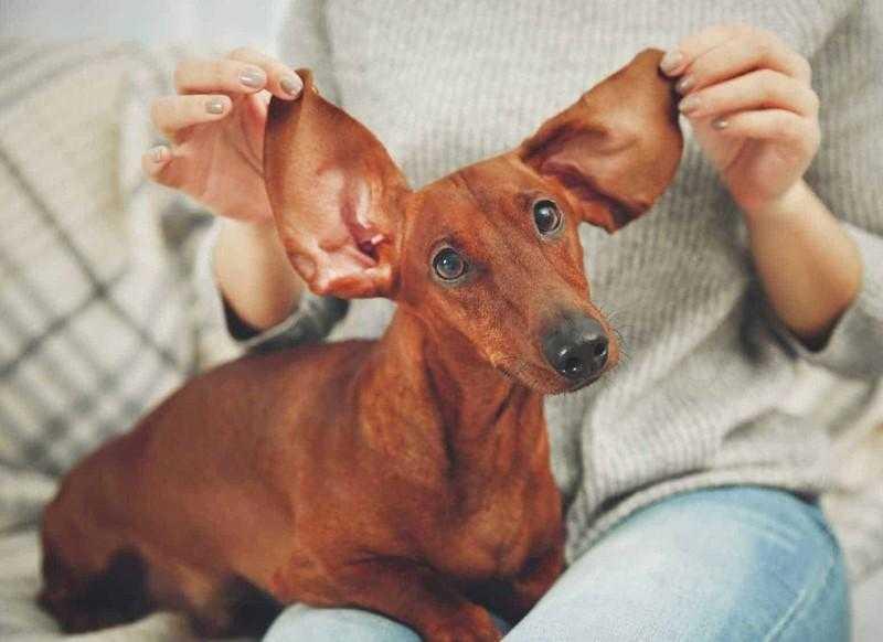 Como limpar as orelhas do cachorro