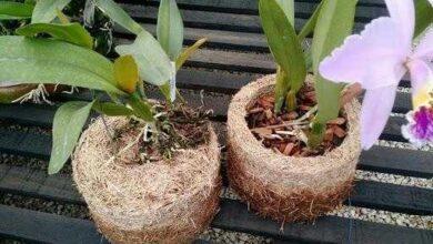 Foto de Como plantar orquídeas em xaxim?