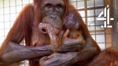 Foto de Mãe orangotango finalmente se reúne com seu bebê sequestrado e sua reação nos emocionou