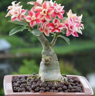 rosa-do-deserto adenium obesum