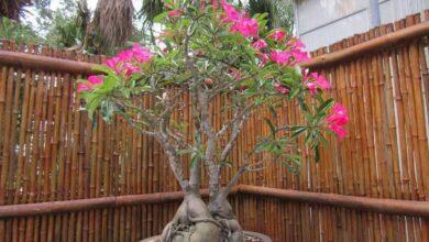 Como plantar a Rosa-do-Deserto (Adenium obesum)