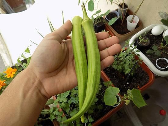 Como plantar pé de quiabo - Quiabeiro