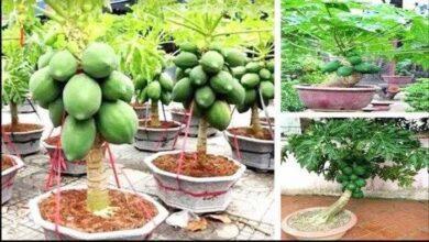 Foto de Plante e Colha Mamão em Vasos de 40 Litros