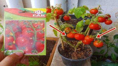 Foto de Como plantar tomate cereja em vaso