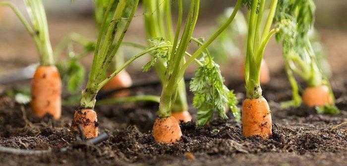 mini cenouras na terra