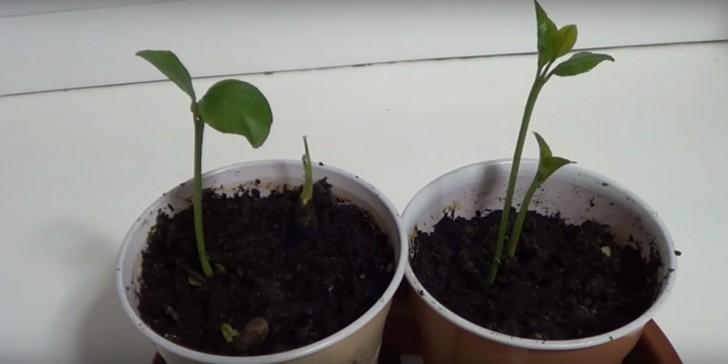 sementes-limao3