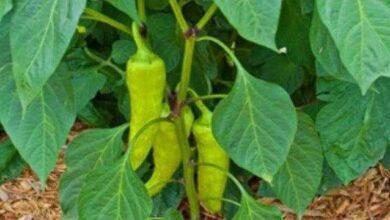 Foto de Como Plantar e Cultivar Pimenta de Cheiro em Seu Jardim
