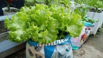 Foto de Como Plantar Alface Em Sacos Plásticos