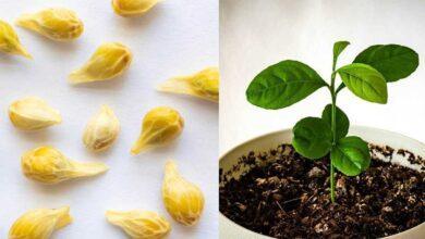 Foto de Como plantar limão em um copo para perfumar e decorar sua casa