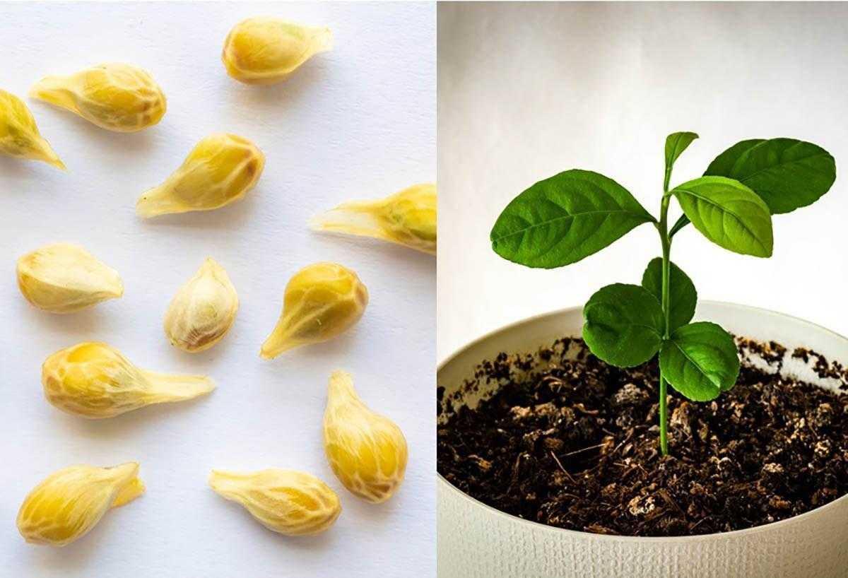 Como plantar limao em um copo para perfumar e decorar Como plantar limão em um copo para perfumar e decorar sua casa
