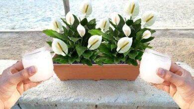 Adubo Caseiro Para Fazer Qualquer Planta Produzir Muitas Flores