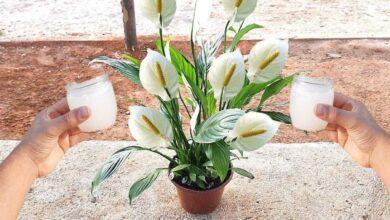 Foto de Faça sua Planta Florir com 1 copinho desse Poderoso Adubo