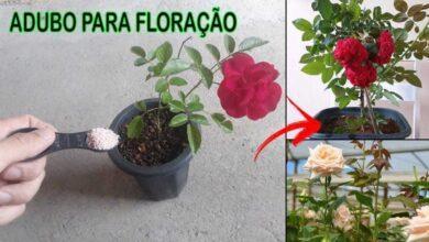 Faça sua Roseira Florir de Forma Simples e Fácil