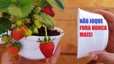 Aprenda A Plantar Morango No Marmitex E Colha Todos Os Dias