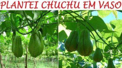 Foto de Como Plantar Chuchu em Vasos