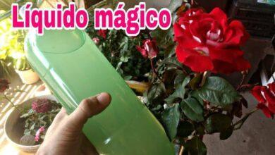 Foto de Dica de Como Fazer Rosas Florescer