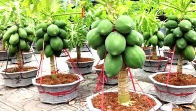 Mamão anão plantado em vaso