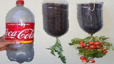Plante Tomate Anão em Garrafa Pet