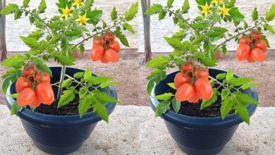 Foto de Técnica Valiosa para Plantação de Tomate