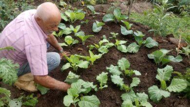 Foto de Dicas de Como Plantar e Adubar Couves