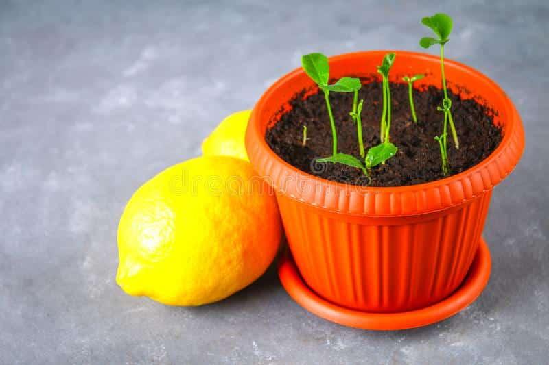 Como plantar um pezinho de limão